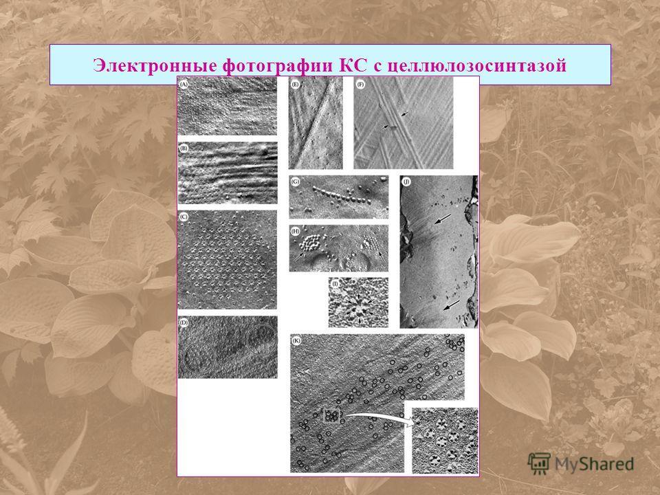 Электронные фотографии КС с целлюлозосинтазой