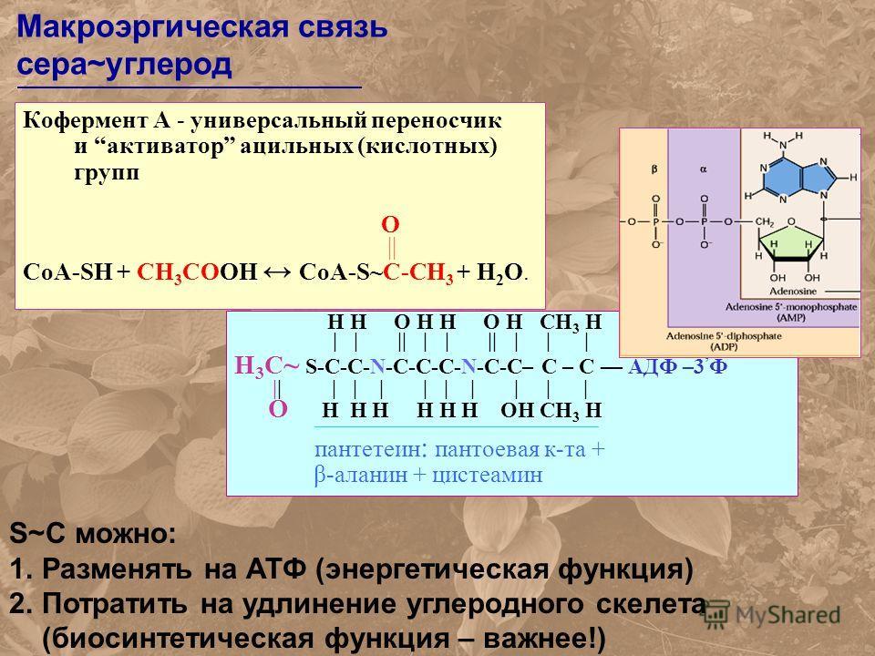 Кофермент А - универсальный переносчик и активатор ацильных (кислотных) групп O || СоА-SH + CH 3 СOOH CoA-S~C-CH 3 + Н 2 О. H H O H H O H CH 3 H | | || | | || | | | H 3 C ~ S-C-C-N-C-C-C-N-C-C– C – C АДФ –3 Ф || | | | | | | | | | O H H H H H H OH CH