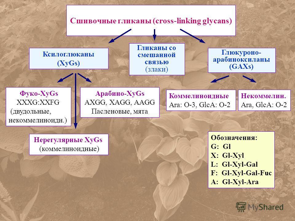 Сшивочные гликаны (cross-linking glycans) Ксилоглюканы (XyGs) Гликаны со смешанной связью (злаки) Глюкуроно- арабиноксиланы (GAXs) Фуко-XyGs XXXG:XXFG (двудольные, некоммелиноидн.) Арабино-XyGs AXGG, XAGG, AAGG Пасленовые, мята Нерегулярные XyGs (ком