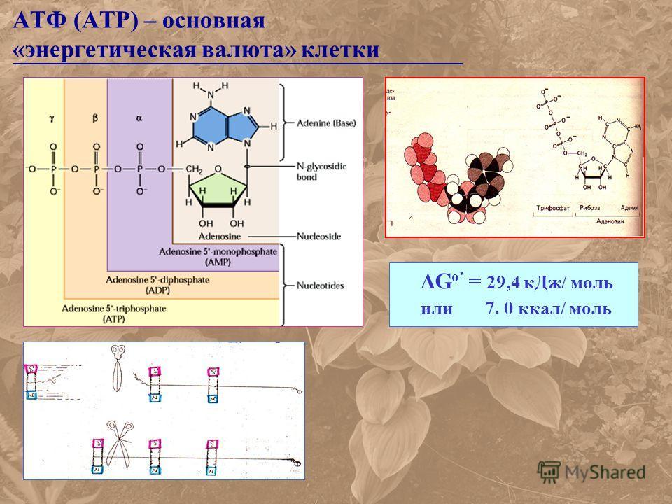 АТФ (ATP) – основная «энергетическая валюта» клетки ΔG o = 29,4 кДж/ моль или 7. 0 ккал/ моль