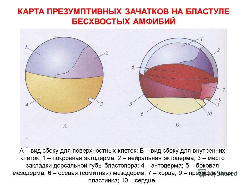 КАРТА ПРЕЗУМПТИВНЫХ ЗАЧАТКОВ НА БЛАСТУЛЕ БЕСХВОСТЫХ АМФИБИЙ А – вид сбоку для поверхностных клеток; Б – вид сбоку для внутренних клеток; 1 – покровная эктодерма; 2 – нейральная эктодерма; 3 – место закладки дорсальной губы бластопора; 4 – энтодерма;