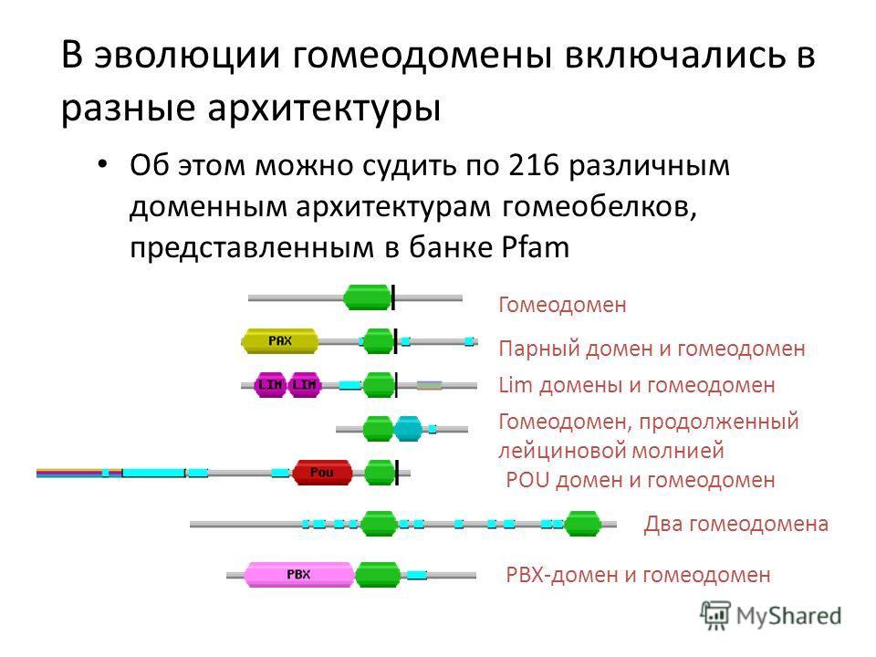 В эволюции гомеодомены включались в разные архитектуры Об этом можно судить по 216 различным доменным архитектурам гомеобелков, представленным в банке Pfam Гомеодомен Парный домен и гомеодомен Lim домены и гомеодомен Гомеодомен, продолженный лейцинов