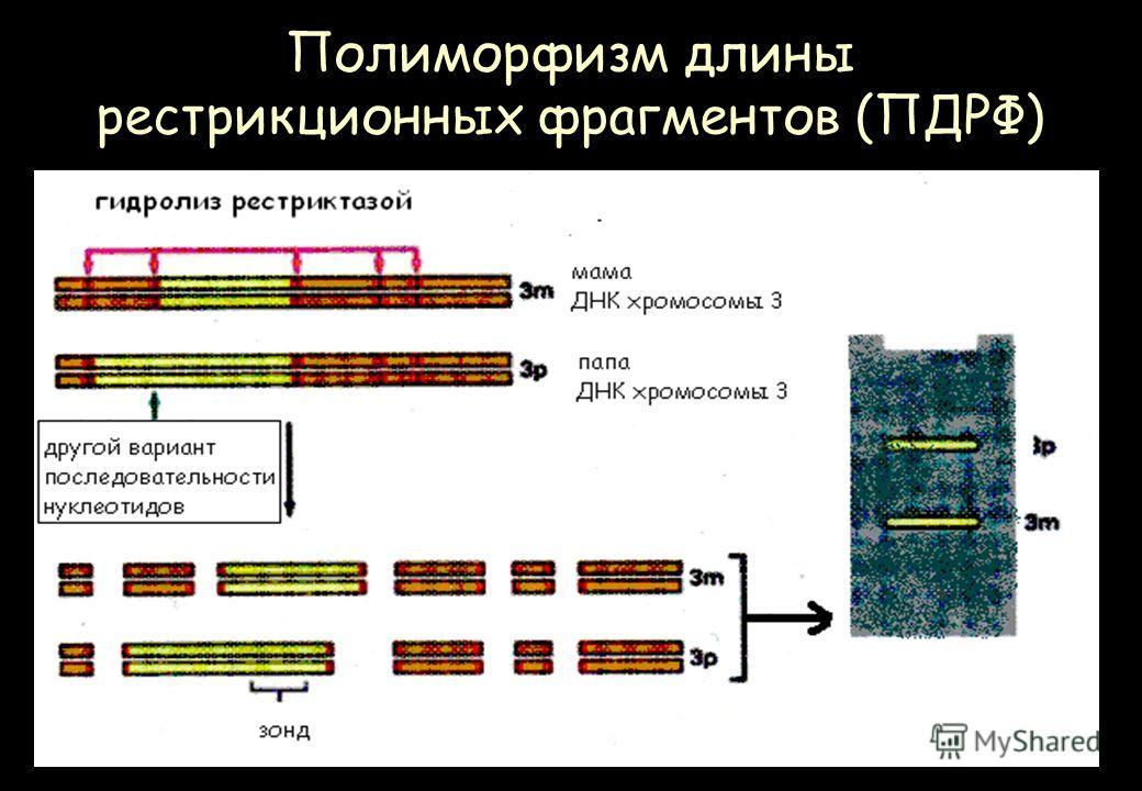 Полиморфизм длины рестрикционных фрагментов (ПДРФ)