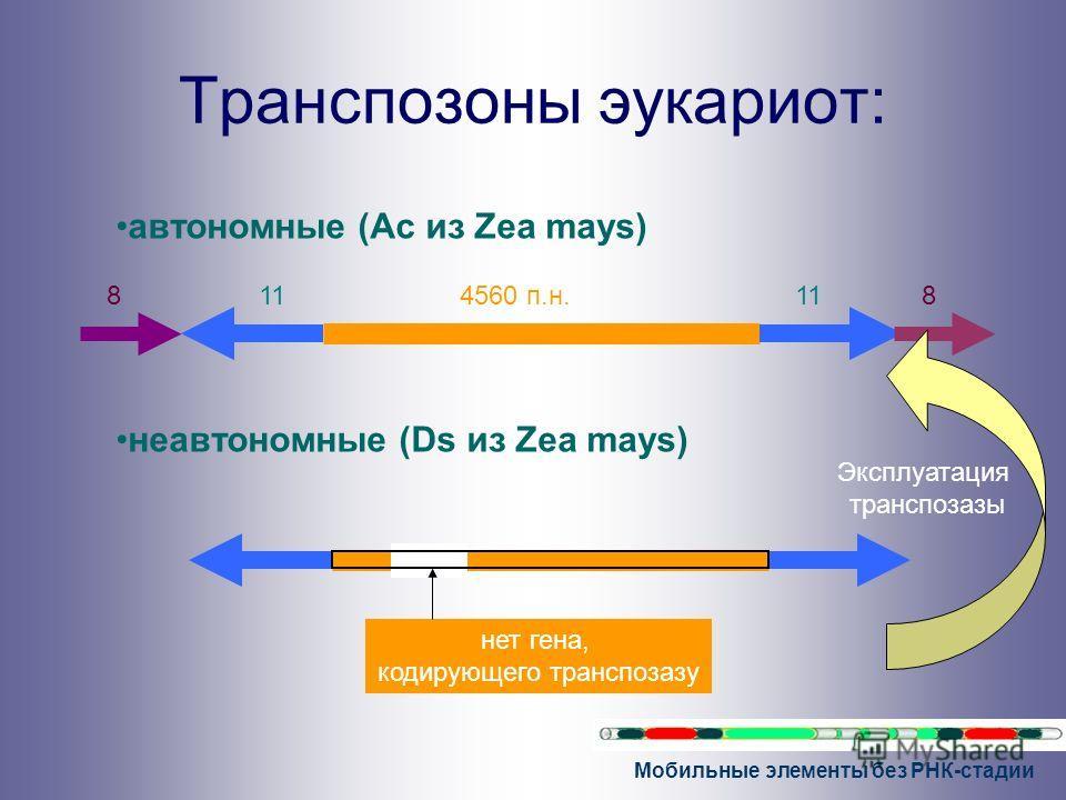 Мобильные элементы без РНК-стадии Транспозоны эукариот: автономные (Ac из Zea mays) неавтономные (Ds из Zea mays) 4560 п.н.11 88 нет гена, кодирующего транспозазу Эксплуатация транспозазы