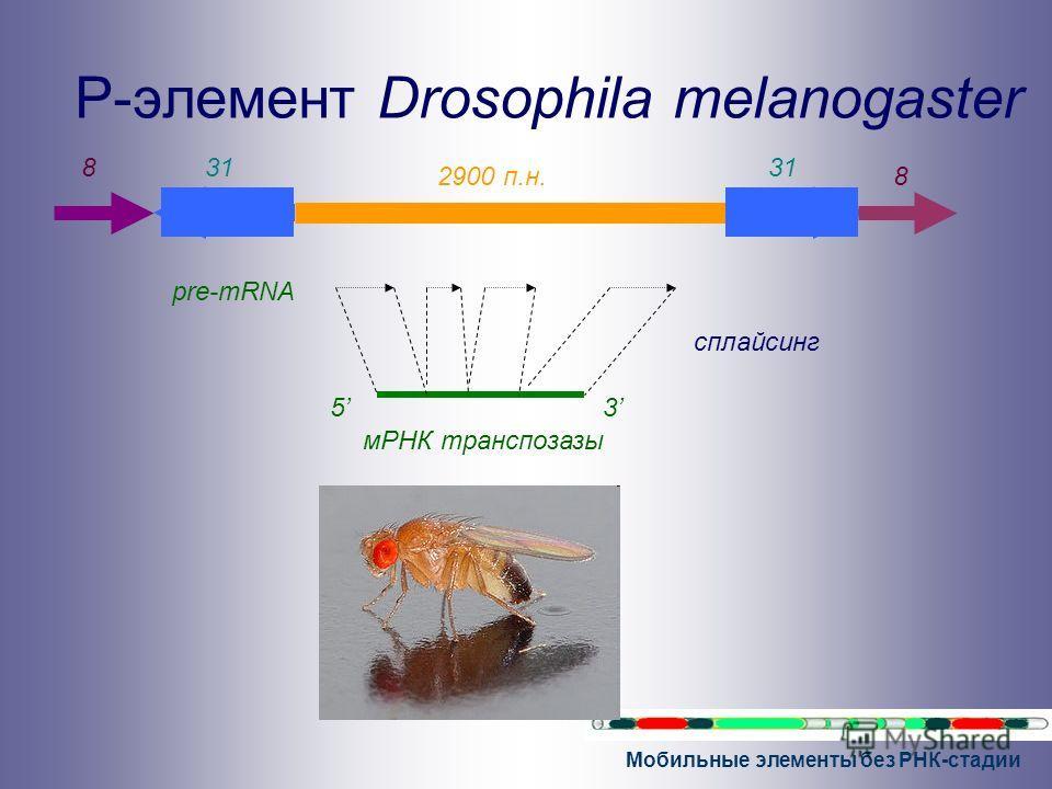 Мобильные элементы без РНК-стадии P-элемент Drosophila melanogaster 31 2900 п.н. pre-mRNA 3 сплайсинг 5 831 8 мРНК транспозазы