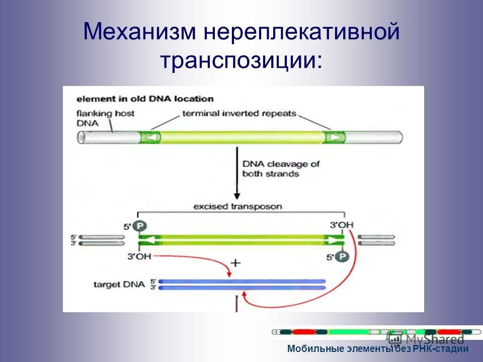 Мобильные элементы без РНК-стадии Механизм нереплекативной транспозиции: