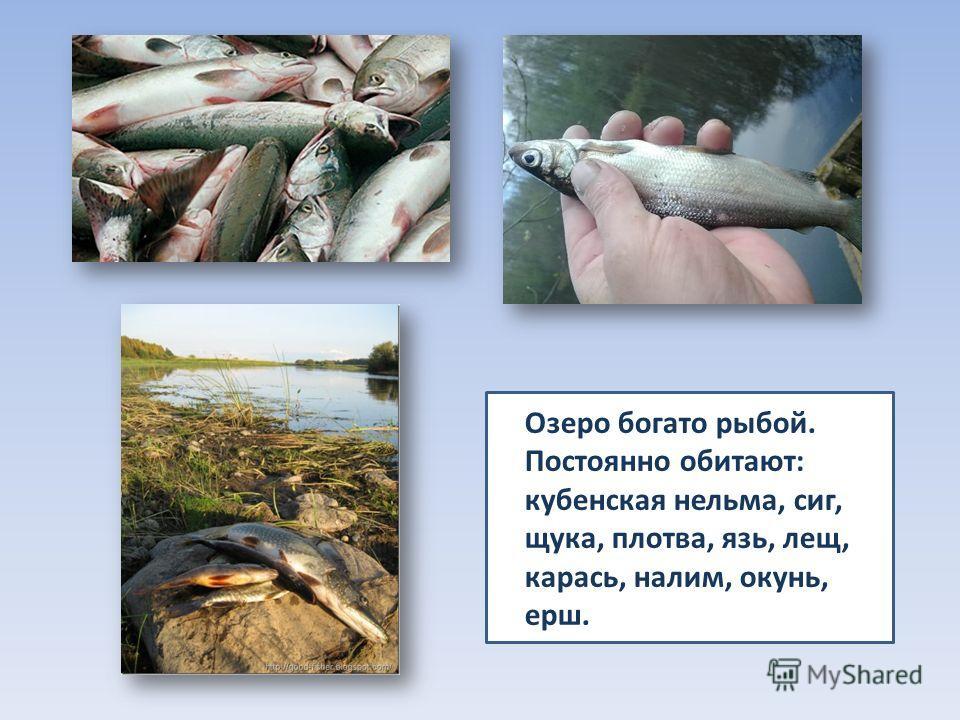 Озеро богато рыбой. Постоянно обитают: кубенская нельма, сиг, щука, плотва, язь, лещ, карась, налим, окунь, ерш.