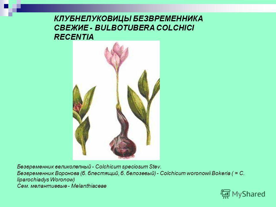 КЛУБНЕЛУКОВИЦЫ БЕЗВРЕМЕННИКА СВЕЖИЕ - BULBOTUBERA COLCHICI RECENTIA Безвременник великолепный - Colchicum speciosum Stev. Безвременник Воронова (б. блестящий, б. белозевый) - Colchicum woronowii Bokeria ( = C. liparochiadys Woronow) Сем. мелантиевые