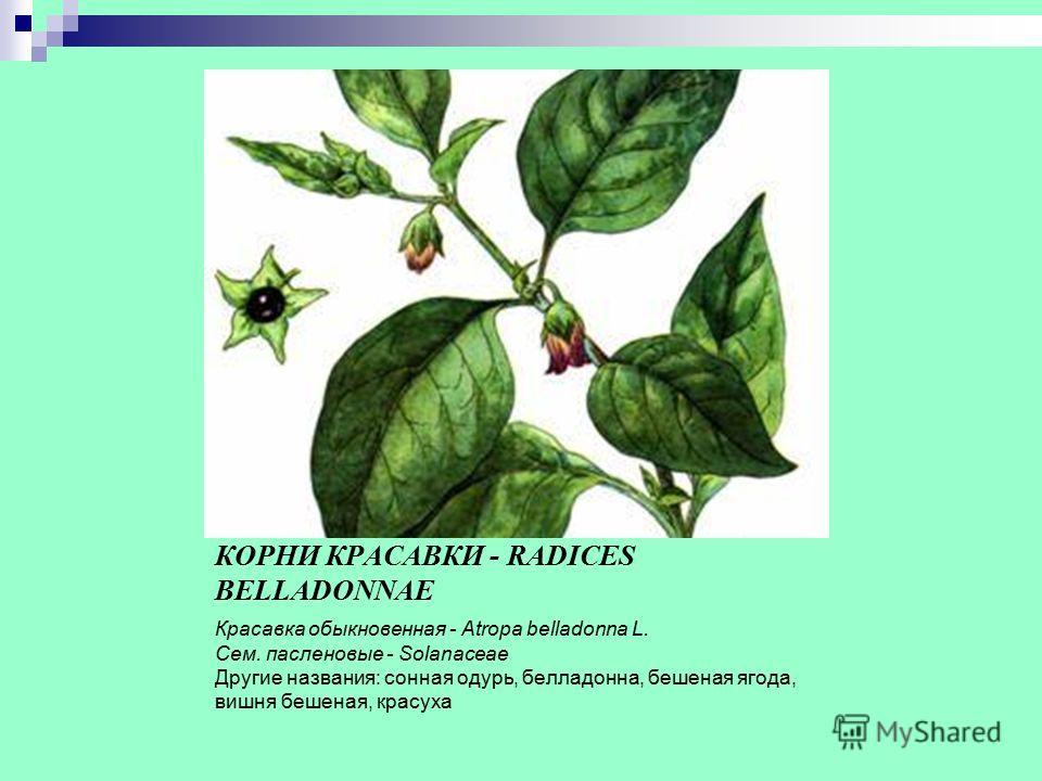 ЛИСТЬЯ КРАСАВКИ - FOLIA BELLADONNAE ТРАВА КРАСАВКИ - HERBA BELLADONNAE КОРНИ КРАСАВКИ - RADICES BELLADONNAE Красавка обыкновенная - Atropa belladonna L. Сем. пасленовые - Solanaceae Другие названия: сонная одурь, белладонна, бешеная ягода, вишня беше