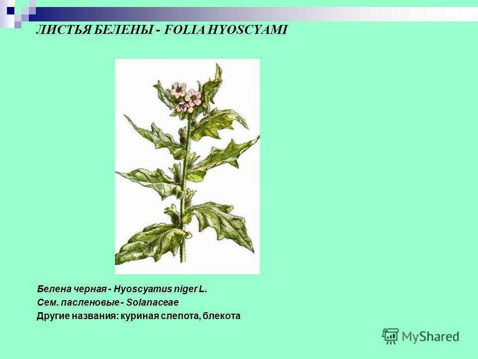 ЛИСТЬЯ БЕЛЕНЫ - FOLIA HYOSCYAMI Белена черная - Hyoscyamus niger L. Сем. пасленовые - Solanaceae Другие названия: куриная слепота, блекота