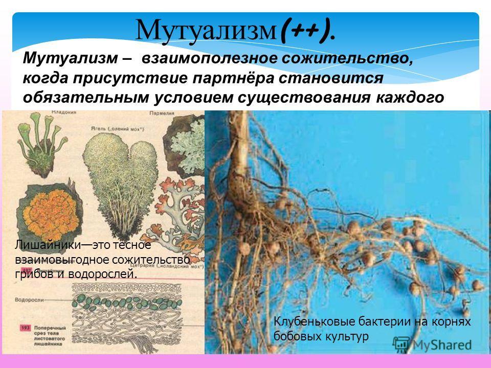 Мутуализм – взаимополезное сожительство, когда присутствие партнёра становится обязательным условием существования каждого из них. Мутуализм (++). Лишайникиэто тесное взаимовыгодное сожительство грибов и водорослей. Клубеньковые бактерии на корнях бо