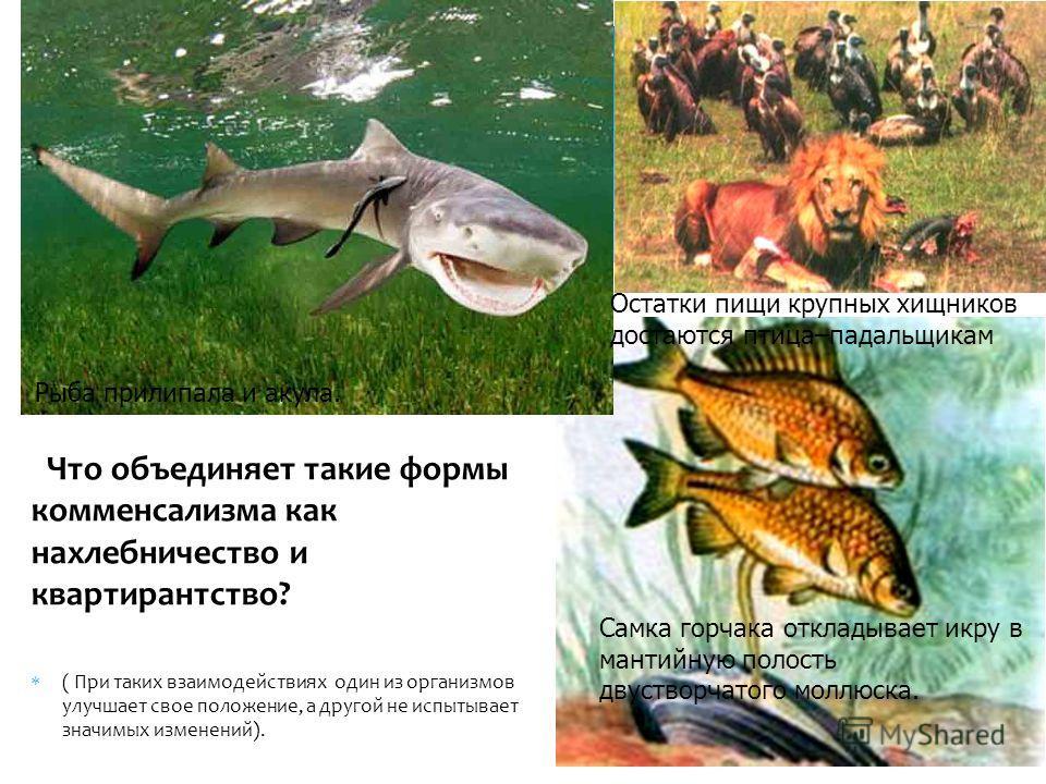 Что объединяет такие формы комменсализма как нахлебничество и квартирантство? ( При таких взаимодействиях один из организмов улучшает свое положение, а другой не испытывает значимых изменений). Рыба прилипала и акула. Самка горчака откладывает икру в