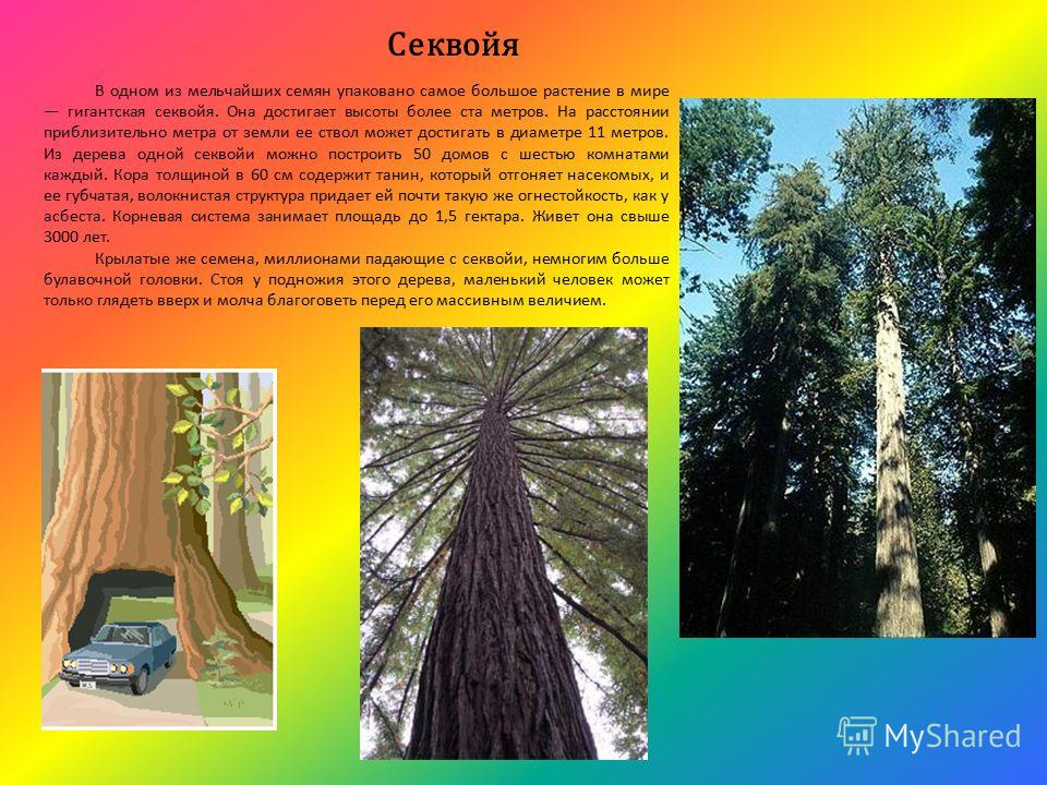 Секвойя В одном из мельчайших семян упаковано самое большое растение в мире гигантская секвойя. Она достигает высоты более ста метров. На расстоянии приблизительно метра от земли ее ствол может достигать в диаметре 11 метров. Из дерева одной секвойи