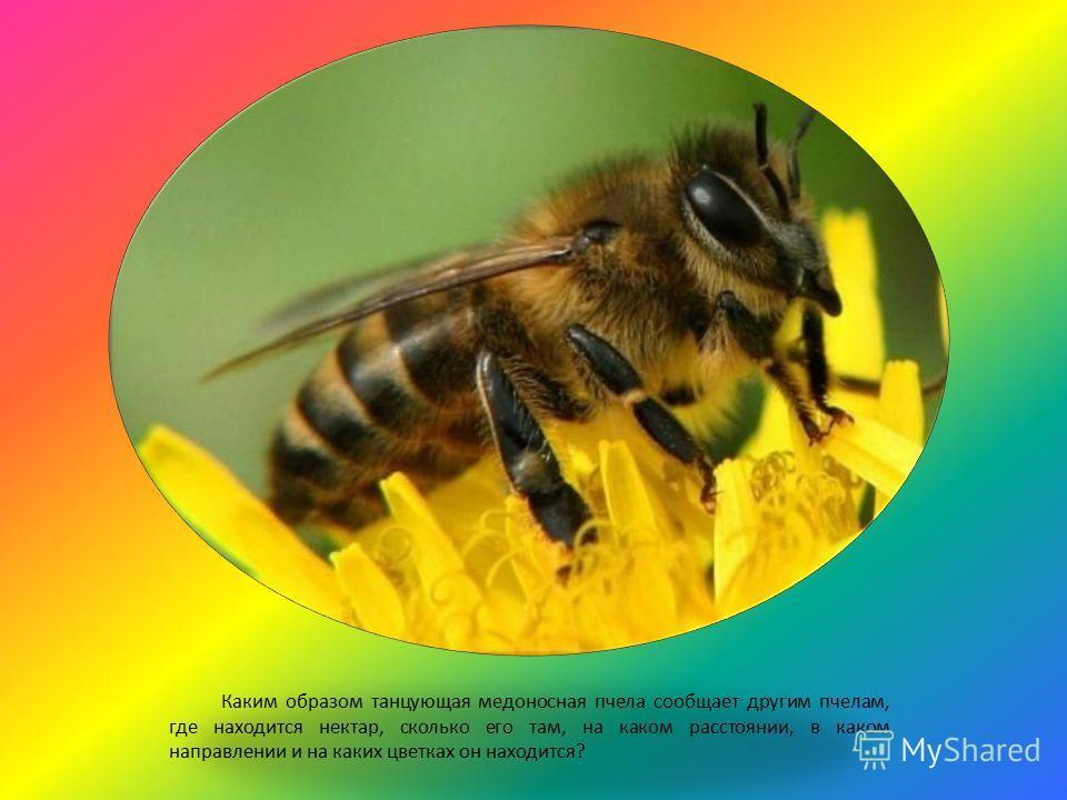 Каким образом танцующая медоносная пчела сообщает другим пчелам, где находится нектар, сколько его там, на каком расстоянии, в каком направлении и на каких цветках он находится?