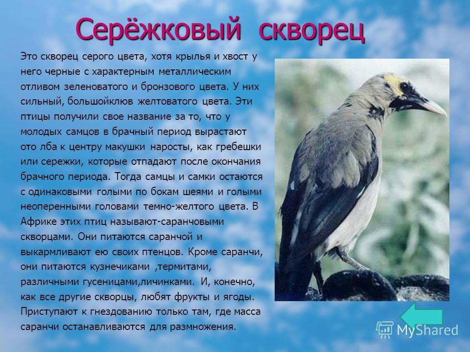 Серёжковый скворец Это скворец серого цвета, хотя крылья и хвост у него черные с характерным металлическим отливом зеленоватого и бронзового цвета. У них сильный, большойклюв желтоватого цвета. Эти птицы получили свое название за то, что у молодых са