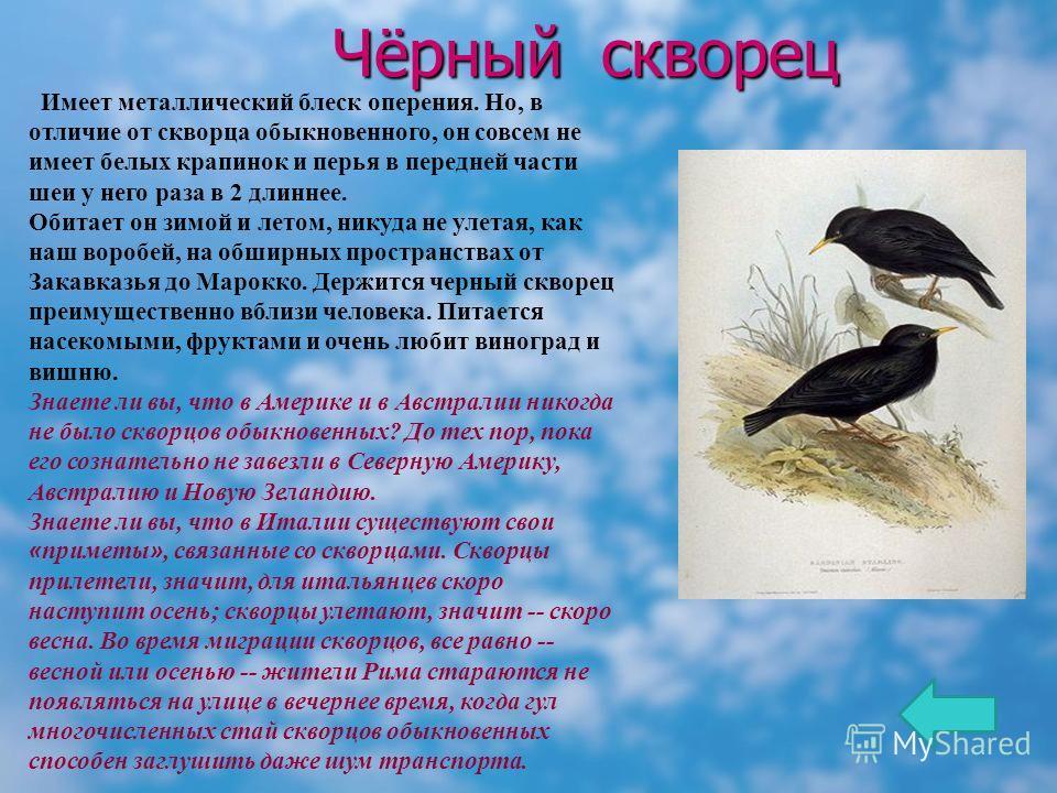 Чёрный скворец Имеет металлический блеск оперения. Но, в отличие от скворца обыкновенного, он совсем не имеет белых крапинок и перья в передней части шеи у него раза в 2 длиннее. Обитает он зимой и летом, никуда не улетая, как наш воробей, на обширны