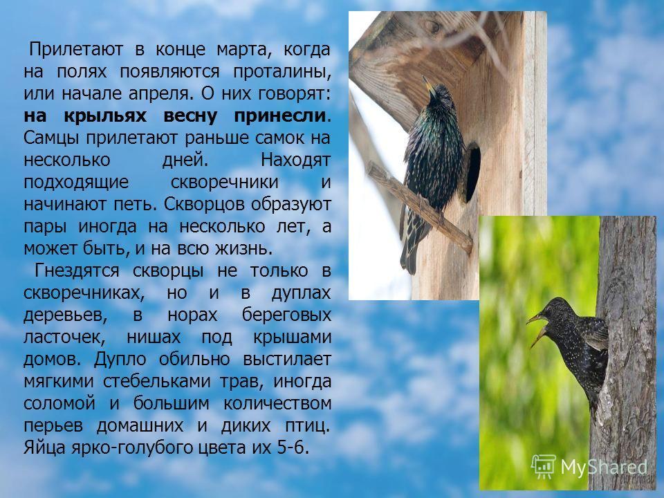 Прилетают в конце марта, когда на полях появляются проталины, или начале апреля. О них говорят: на крыльях весну принесли. Самцы прилетают раньше самок на несколько дней. Находят подходящие скворечники и начинают петь. Скворцов образуют пары иногда н