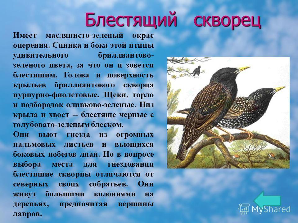 Блестящий скворец Блестящий скворец Имеет маслянисто-зеленый окрас оперения. Спинка и бока этой птицы удивительного бриллиантово- зеленого цвета, за что он и зовется блестящим. Голова и поверхность крыльев бриллиантового скворца пурпурно-фиолетовые.