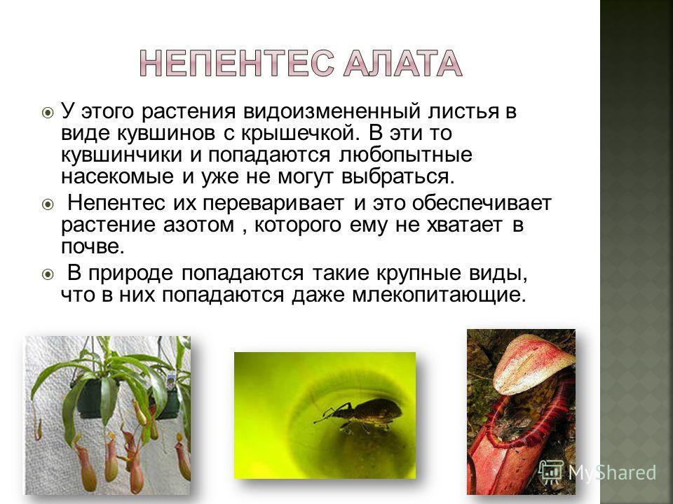 У этого растения видоизмененный листья в виде кувшинов с крышечкой. В эти то кувшинчики и попадаются любопытные насекомые и уже не могут выбраться. Непентес их переваривает и это обеспечивает растение азотом, которого ему не хватает в почве. В природ