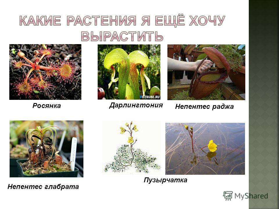 Росянка Дарлингтония Непентес глабрата Непентес раджа Пузырчатка