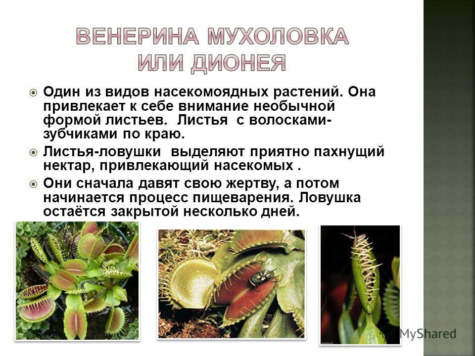Один из видов насекомоядных растений. Она привлекает к себе внимание необычной формой листьев. Листья с волосками- зубчиками по краю. Листья-ловушки выделяют приятно пахнущий нектар, привлекающий насекомых. Они сначала давят свою жертву, а потом начи
