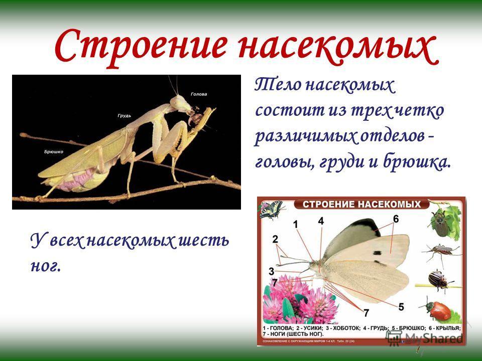 Строение насекомых Тело насекомых состоит из трех четко различимых отделов - головы, груди и брюшка. У всех насекомых шесть ног.