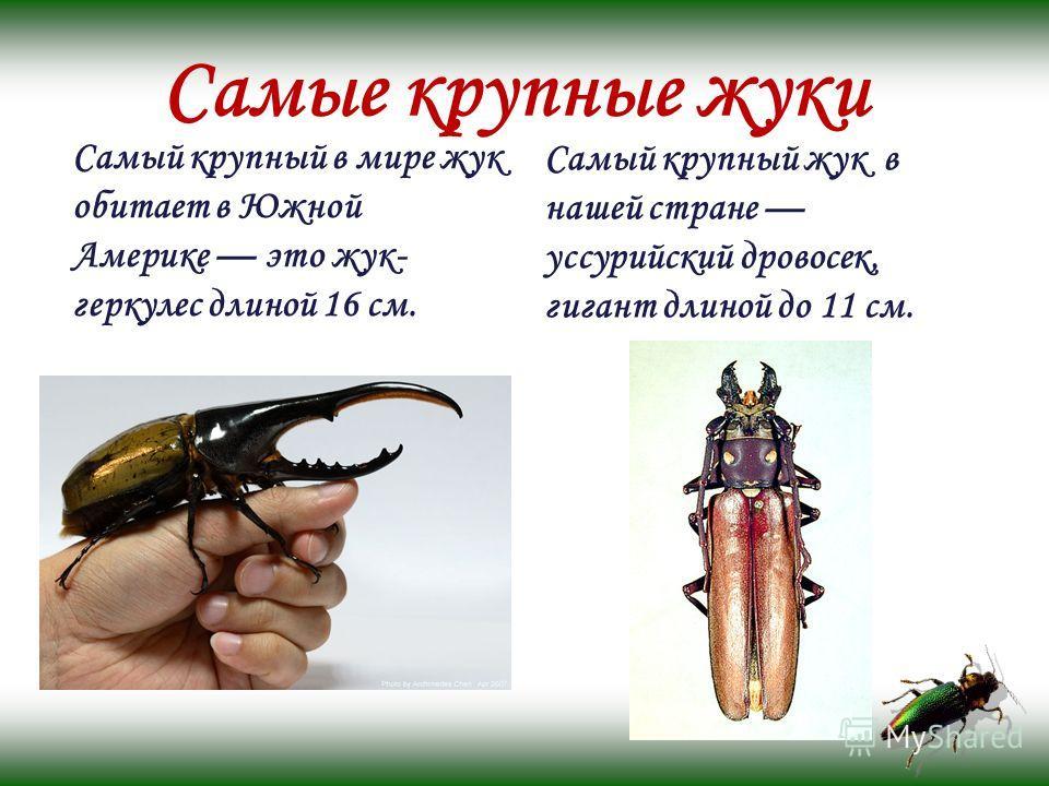 Самые крупные жуки Самый крупный в мире жук обитает в Южной Америке это жук- геркулес длиной 16 см. Самый крупный жук в нашей стране уссурийский дровосек, гигант длиной до 11 см.