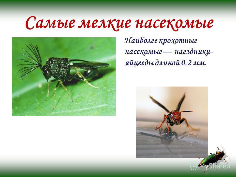 Самые мелкие насекомые Наиболее крохотные насекомые наездники- яйцееды длиной 0,2 мм.