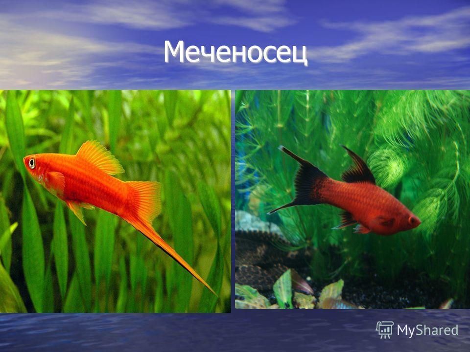 Меченосец Меченосец