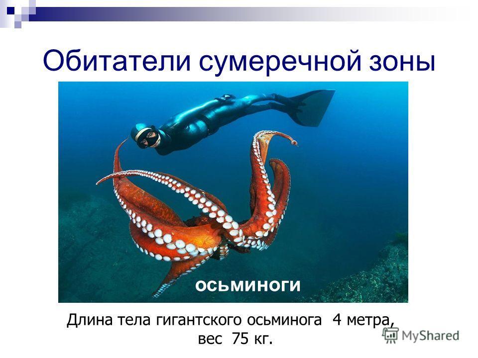 Обитатели сумеречной зоны осьминоги Длина тела гигантского осьминога 4 метра, вес 75 кг.