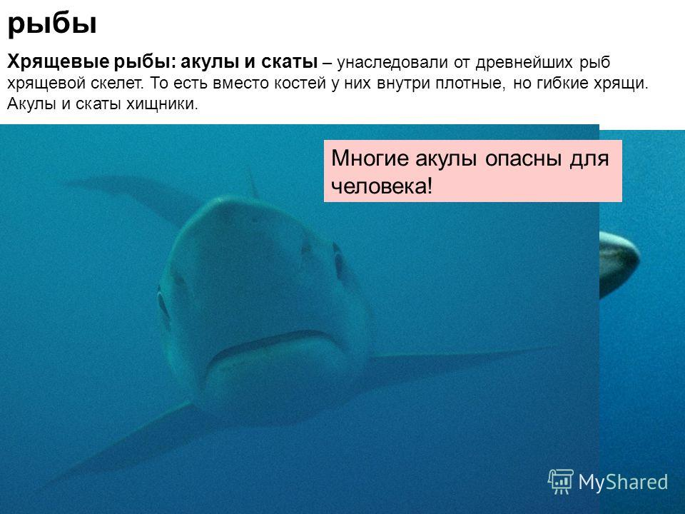 рыбы Хрящевые рыбы: акулы и скаты – унаследовали от древнейших рыб хрящевой скелет. То есть вместо костей у них внутри плотные, но гибкие хрящи. Акулы и скаты хищники. Многие акулы опасны для человека!