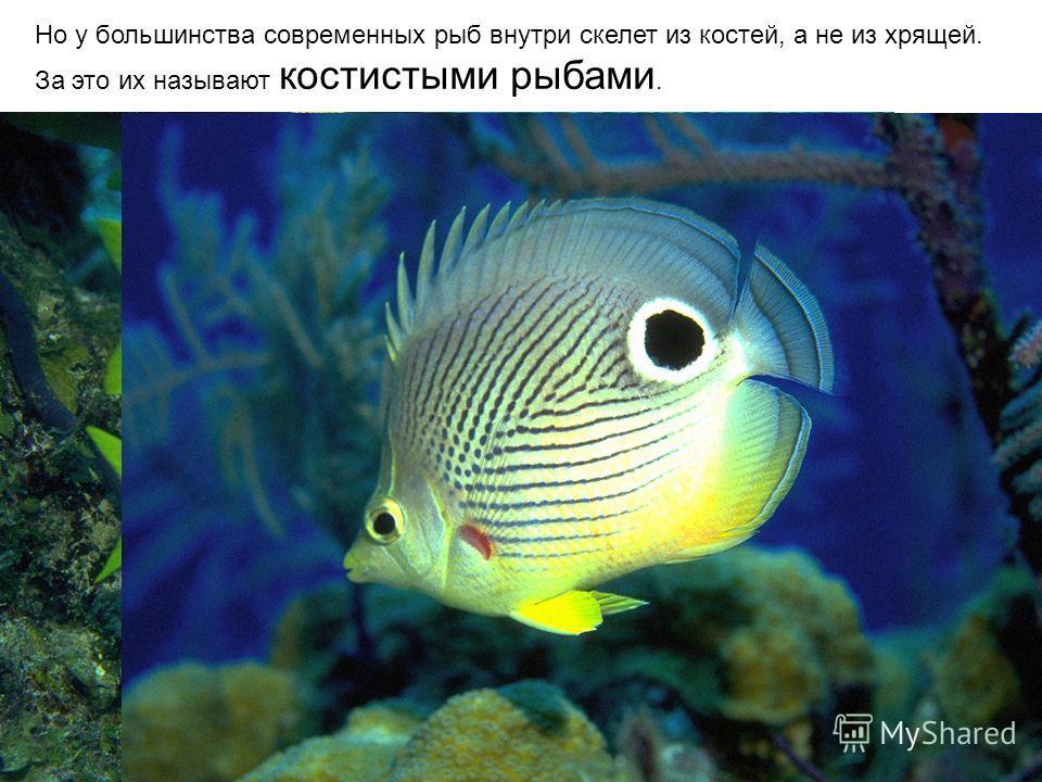 Но у большинства современных рыб внутри скелет из костей, а не из хрящей. За это их называют костистыми рыбами.