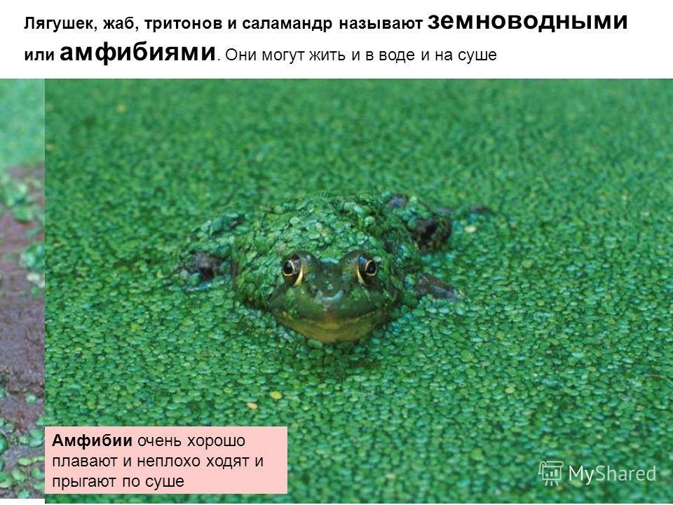 Лягушек, жаб, тритонов и саламандр называют земноводными или амфибиями. Они могут жить и в воде и на суше Амфибии очень хорошо плавают и неплохо ходят и прыгают по суше