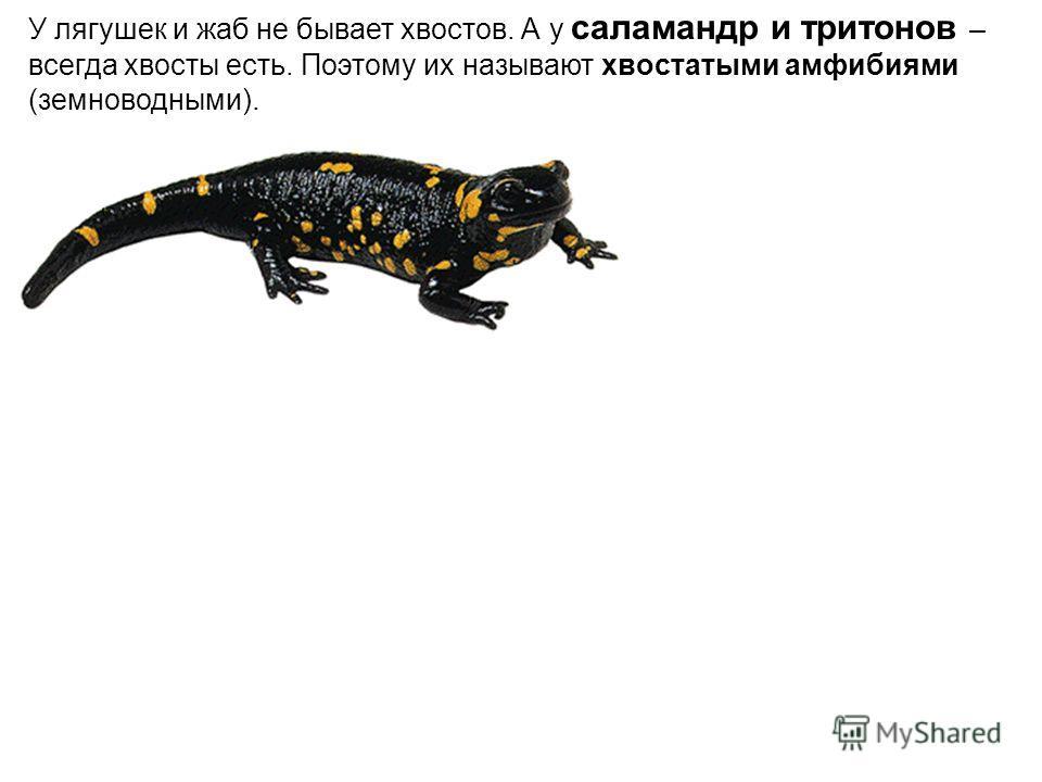 У лягушек и жаб не бывает хвостов. А у саламандр и тритонов – всегда хвосты есть. Поэтому их называют хвостатыми амфибиями (земноводными).