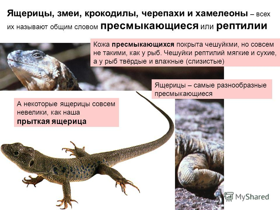 Ящерицы, змеи, крокодилы, черепахи и хамелеоны – всех их называют общим словом пресмыкающиеся или рептилии Кожа пресмыкающихся покрыта чешуйкми, но совсем не такими, как у рыб. Чешуйки рептилий мягкие и сухие, а у рыб твёрдые и влажные (слизистые) Ва