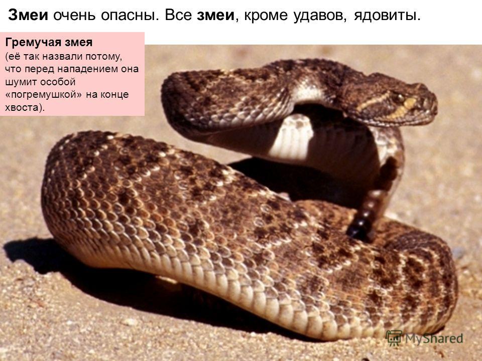 Змеи очень опасны. Все змеи, кроме удавов, ядовиты. Гремучая змея (её так назвали потому, что перед нападением она шумит особой «погремушкой» на конце хвоста).