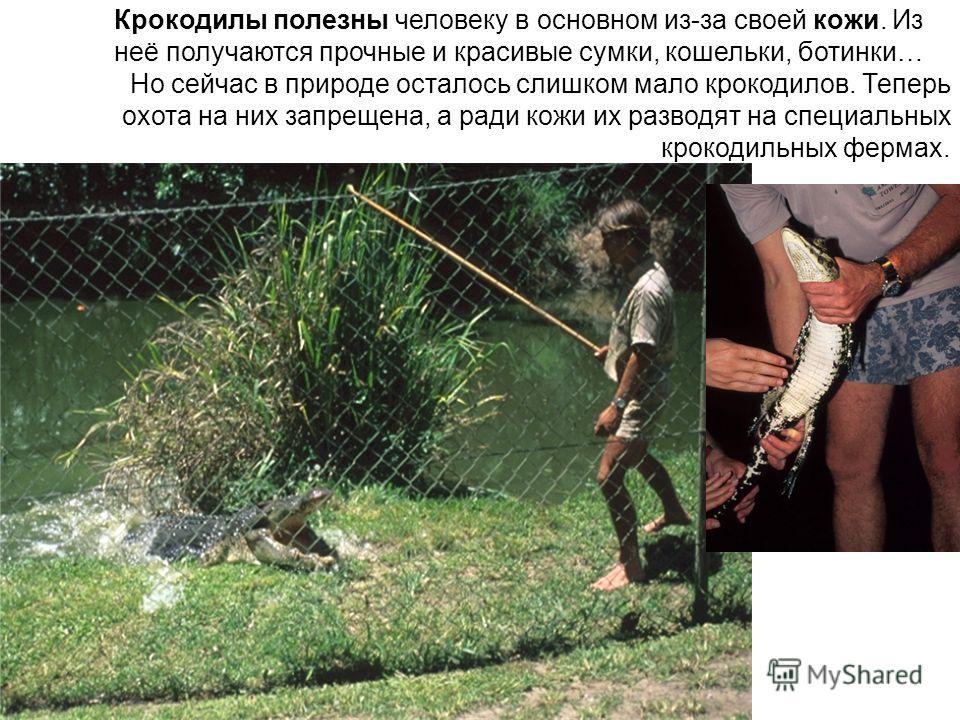 Крокодилы полезны человеку в основном из-за своей кожи. Из неё получаются прочные и красивые сумки, кошельки, ботинки… Но сейчас в природе осталось слишком мало крокодилов. Теперь охота на них запрещена, а ради кожи их разводят на специальных крокоди
