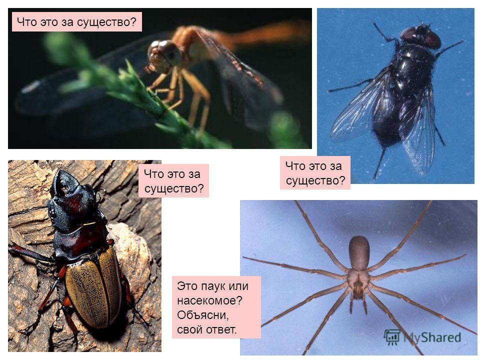 Что это за существо? Что это за существо? Что это за существо? Это паук или насекомое? Объясни, свой ответ.