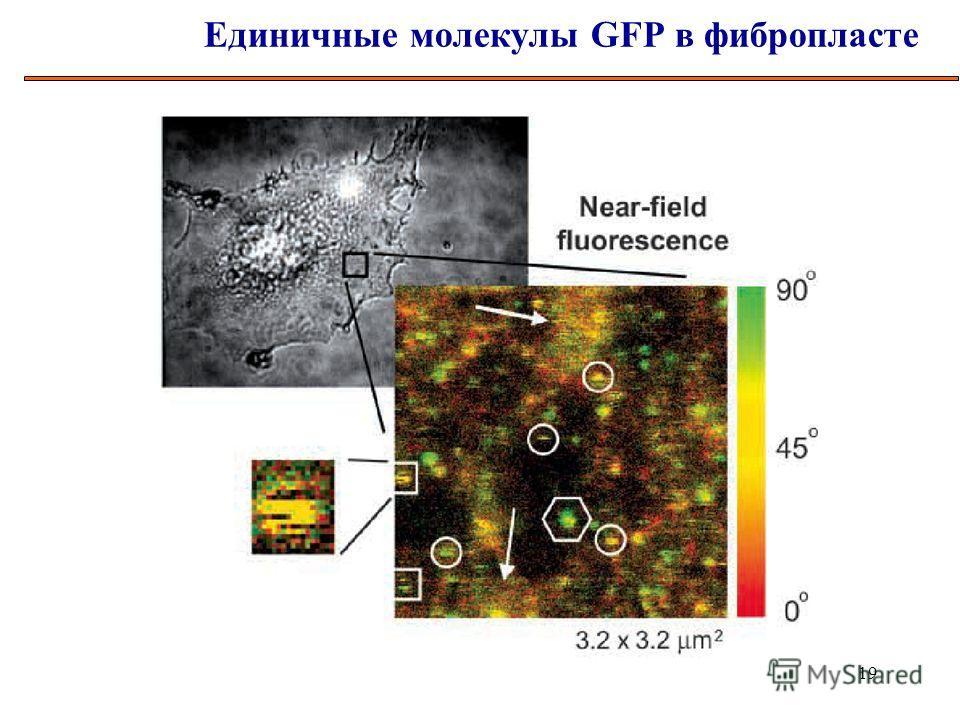 19 Единичные молекулы GFP в фибропласте