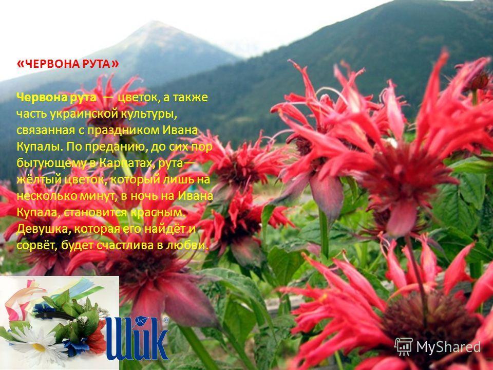 « ЧЕРВОНА РУТА » Червона рута цветок, а также часть украинской культуры, связанная с праздником Ивана Купалы. По преданию, до сих пор бытующему в Карпатах, рута жёлтый цветок, который лишь на несколько минут, в ночь на Ивана Купала, становится красны
