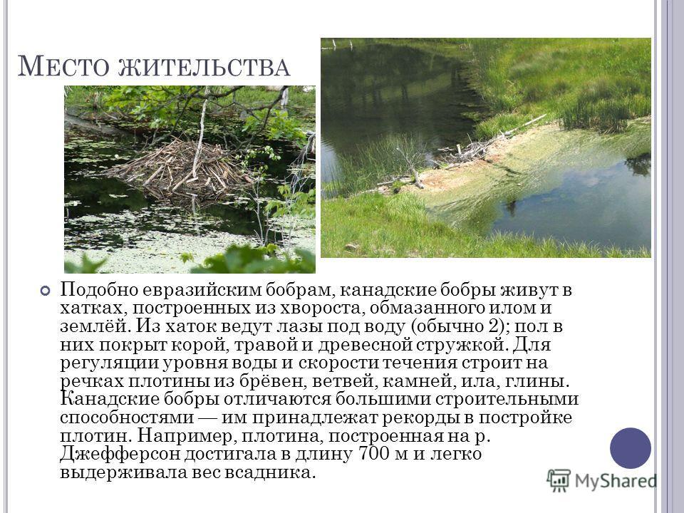 М ЕСТО ЖИТЕЛЬСТВА Подобно евразийским бобрам, канадские бобры живут в хатках, построенных из хвороста, обмазанного илом и землёй. Из хаток ведут лазы под воду (обычно 2); пол в них покрыт корой, травой и древесной стружкой. Для регуляции уровня воды