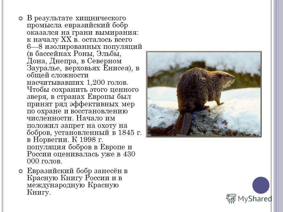 В результате хищнического промысла евразийский бобр оказался на грани вымирания: к началу XX в. осталось всего 68 изолированных популяций (в бассейнах Роны, Эльбы, Дона, Днепра, в Северном Зауралье, верховьях Енисея), в общей сложности насчитывавших