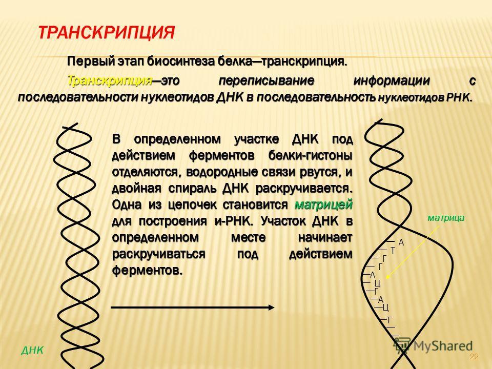 ТРАНСКРИПЦИЯ Первый этап биосинтеза белкатранскрипция. Транскрипцияэто переписывание информации с последовательности нуклеотидов ДНК в последовательность нуклеотидов РНК. А Т Г Г А Ц Г А Ц Т В определенном участке ДНК под действием ферментов белки-ги