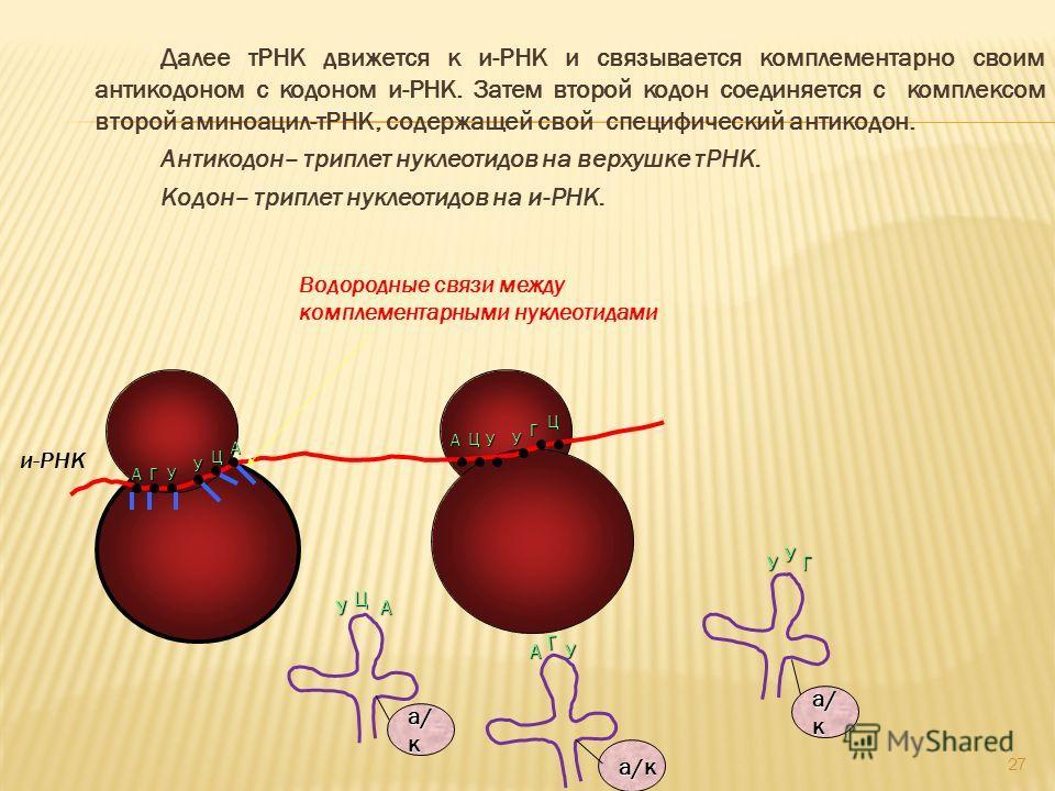 Далее тРНК движется к и-РНК и связывается комплементарно своим антикодоном с кодоном и-РНК. Затем второй кодон соединяется с комплексом второй аминоацил-тРНК, содержащей свой специфический антикодон. Антикодон– триплет нуклеотидов на верхушке тРНК. К