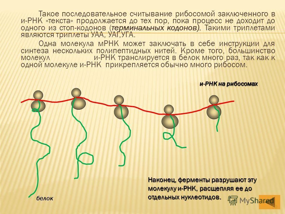 Такое последовательное считывание рибосомой заключенного в и-РНК «текста» продолжается до тех пор, пока процесс не доходит до одного из стоп-кодонов (терминальных кодонов). Такими триплетами являются триплеты УАА, УАГ,УГА. Одна молекула мРНК может за