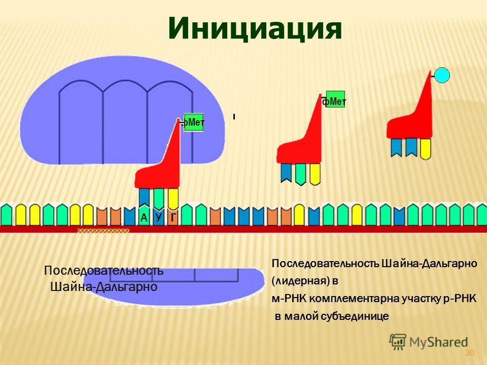 АУГ фМет Последовательность Шайна-Дальгарно Инициация Последовательность Шайна-Дальгарно (лидерная) в м-РНК комплементарна участку р-РНК в малой субъединице 30