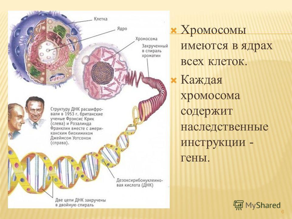 Хромосомы имеются в ядрах всех клеток. Каждая хромосома содержит наследственные инструкции - гены. 6