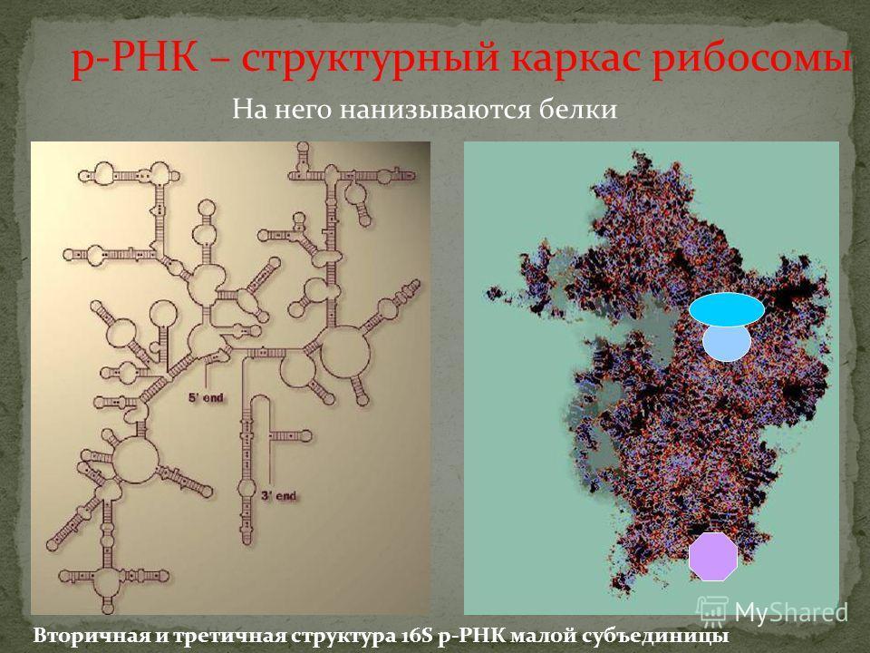 На него нанизываются белки Вторичная и третичная структура 16S р-РНК малой субъединицы р-РНК – структурный каркас рибосомы