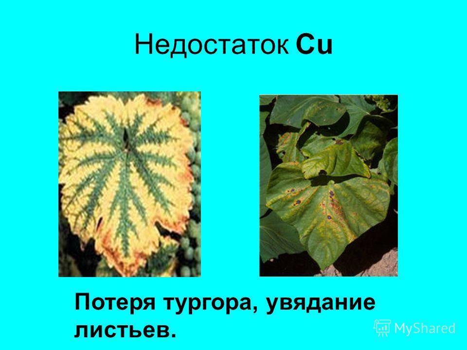 Недостаток Cu Потеря тургора, увядание листьев.