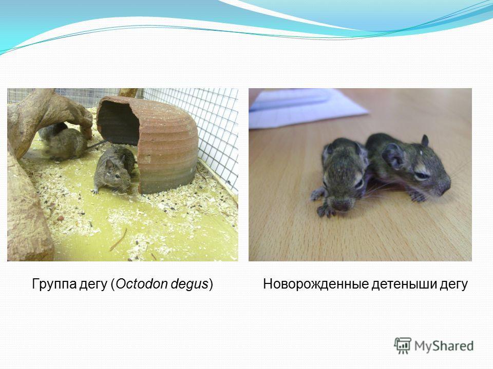 Группа дегу (Octodon degus)Новорожденные детеныши дегу